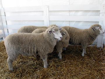 Sheep at the Marin County Fair 2007