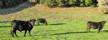 Cows, Olema Valley