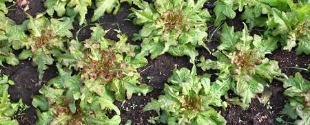 February lettuce