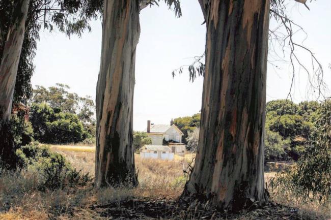 Eucalyptus globulus - Angel Island