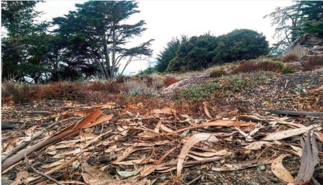 Eucalyptus litter - Carmel by the Sea