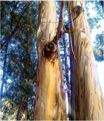 Eucalyptus globulus - UC Berkeley