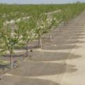 Micro-sprinklers in almonds