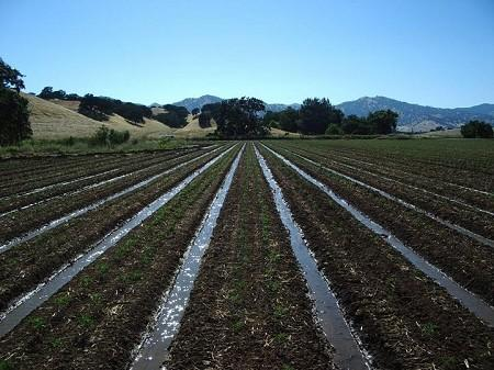 Organic tomato farmscape in Yolo County, California