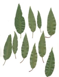 Almond leaves with spider mite damage