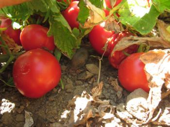 IMG_1289 reiff A harvest