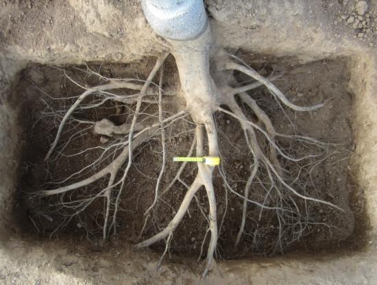 Root excavation ofminimally pruned Chandler walnut tree.