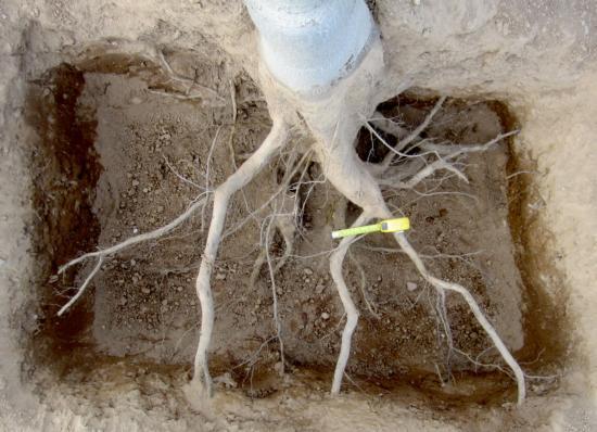 Root excavation of unpruned Chandler walnuttree.