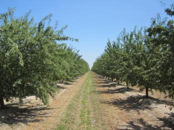 Orchard near Madera