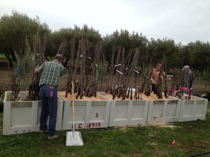 planting UC Davis walnut rootstock trial (1)