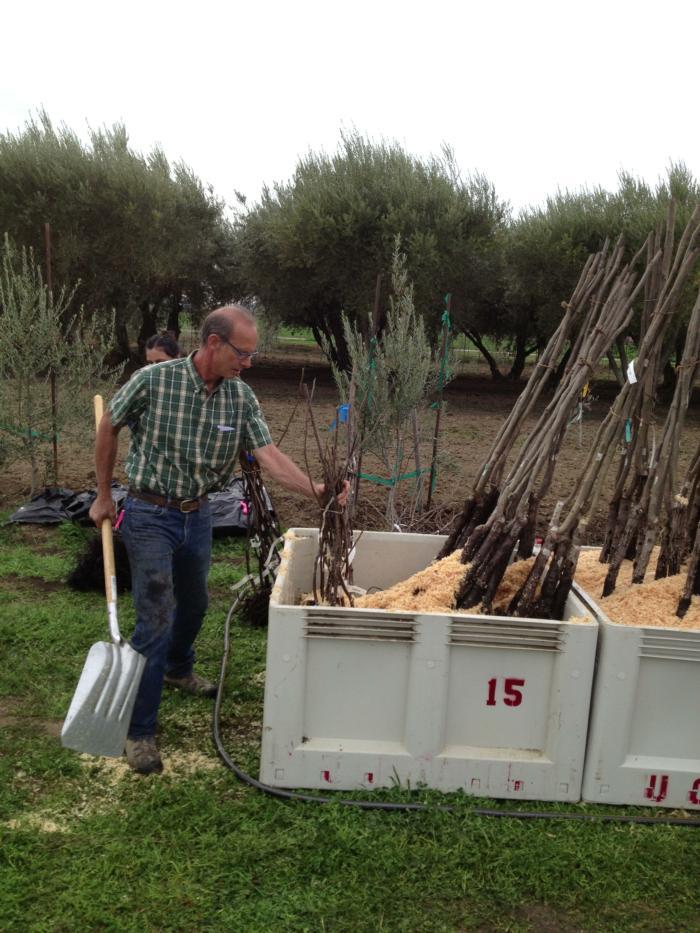 planting UC Davis walnut rootstock trial (4)