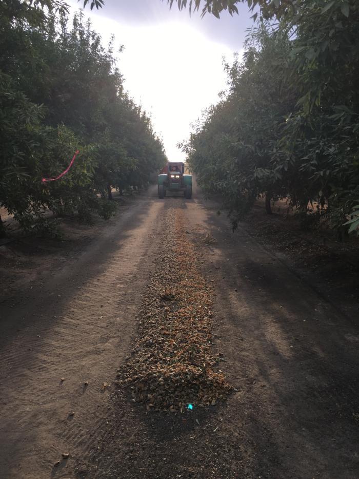 Harvest Madera Regional Almond Variety Trial