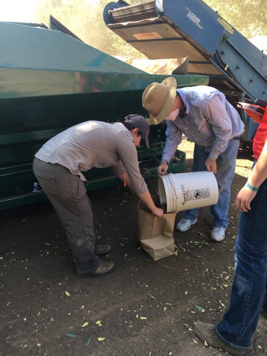 Harvest Chico Regional Almond Variety Trial
