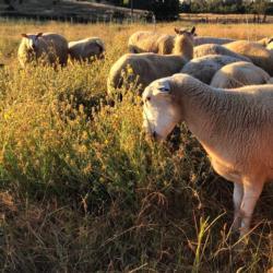 sheep yst