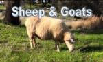 sheepbutton