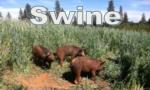 swinebutton