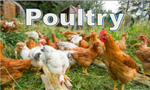 poultrybutton