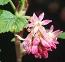 Ribes Outstanding Plant thumbnail