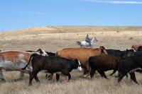 cattle_200w