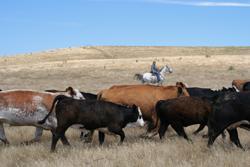 cattle_250w