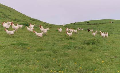poultry on pasture