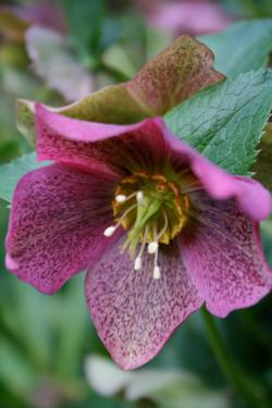 The Lenten rose comes in many colors.