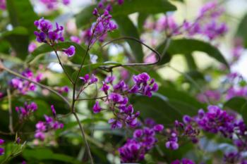 The lilac vine is a purple showstopper in winter.