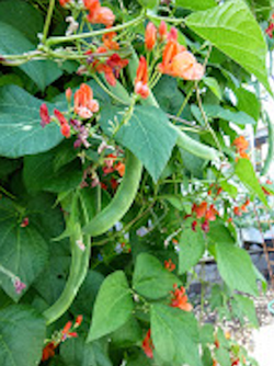 Scarlet runner beans feature showy red flowers and long, tasty beans.  Photo: Marie Narlock