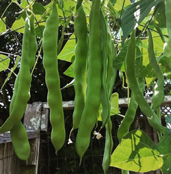 Romano beans are fast-growing vines that produce extra-long, delicious, flat pods.  Photo: Marie Narlock