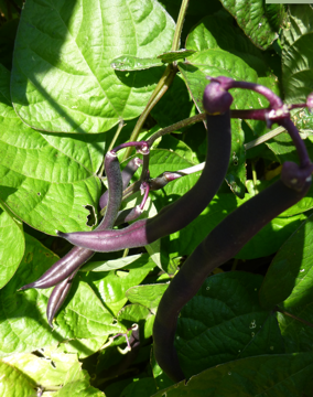 Purple beans add color to the vegetable garden and are fun to grow. They turn green when cooked. Photo: Linda Varonin