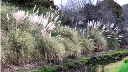 Pampas grass is a familiar invasive plant in Marin.  Photo: Marie Narlock