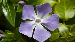 Periwinkle's flowers look sweet, but the plant is invasive. Photo: Wikipedia Commons