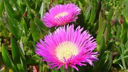 Iceplant smothers native plants out of existence. Photo: Wikipedia Commons