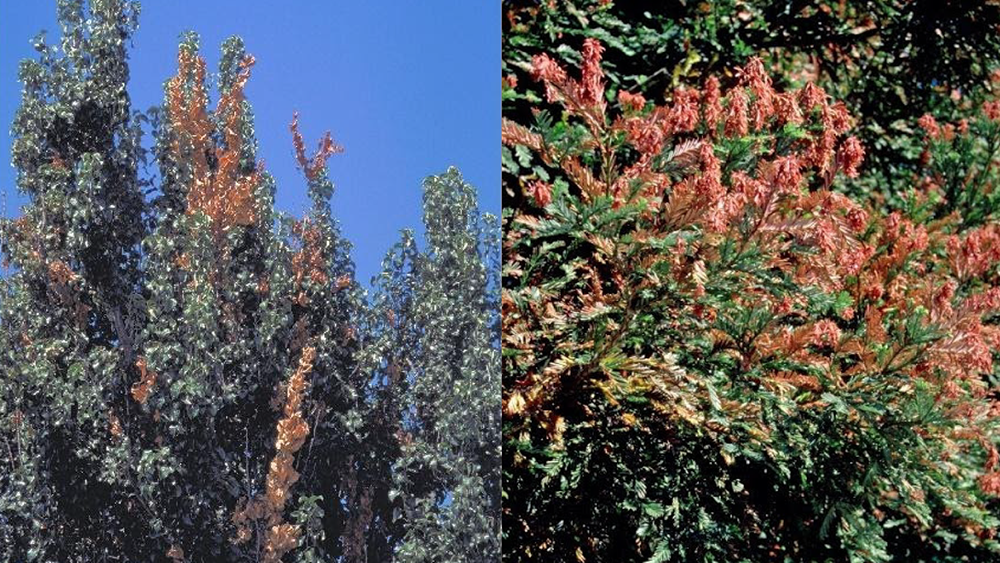 Fireblight (left photo) is a biotic disease, while sunburn damage to the redwood tree (right photo) is abiotic. Credit: UC ANR