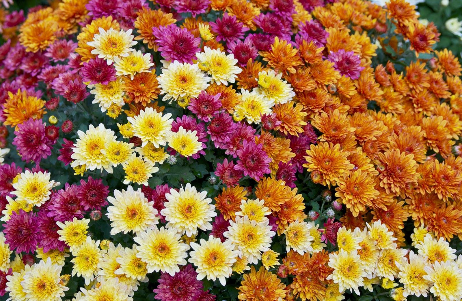 Chrysanthemum flowers are the source of pyrethrins, widely available insecticides that may be toxic to bees and fish. Photo: Wikimedia Commons