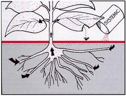 A systemic pesticide is taken in through roots and circulated throughout the plant. PMEP, Cornell University