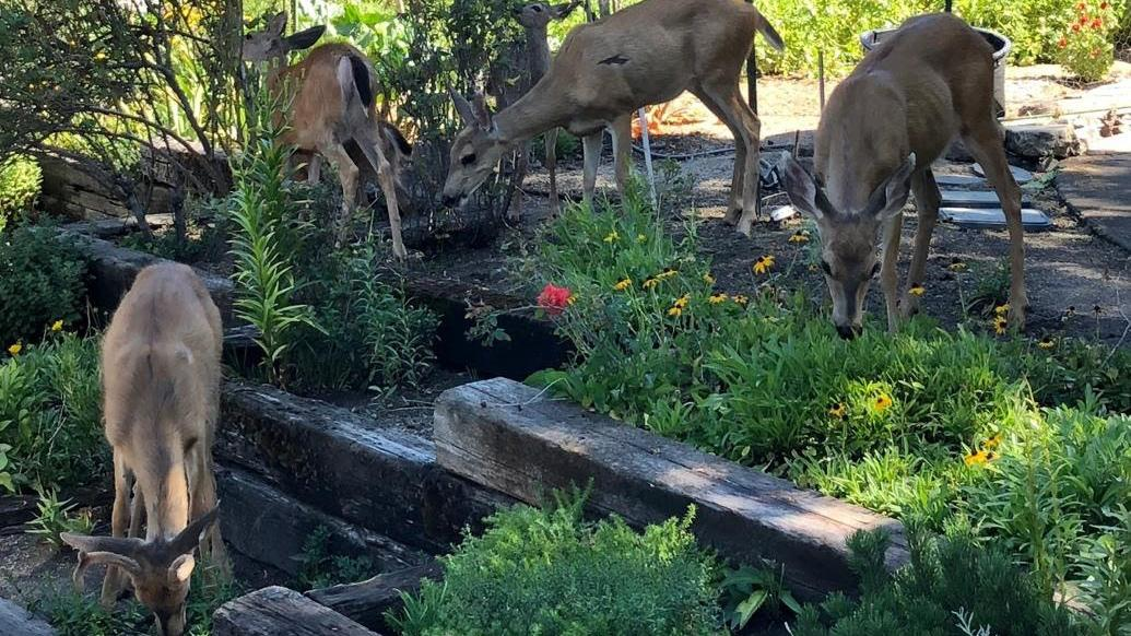 Deer tend to avoid plants that are smelly, wooly, prickly, or poisonous. Photo: Marie Narlock