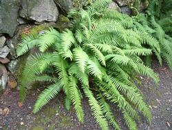 Shade-loving sword ferns (Polystichum munitum) grow 4 to 5 feet tall in moist, cool forests, but typically stay smaller in gardens.  Photo: PlantMaste