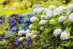 Hydrangeas are classic shade garden plants. Photo: Creative Commons