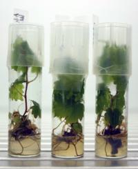 Grape tissue culture plants.