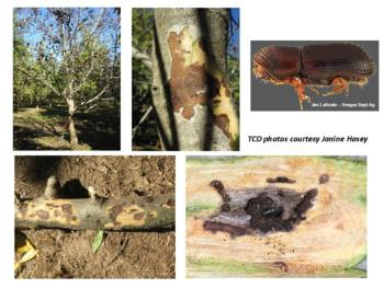 Thousand cankers disease of walnut