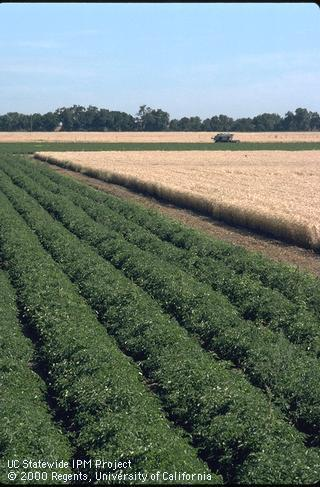 Tomato-wheat rotations, popular in California, contribute to increased agrobiodiversity (credit: UCANR)