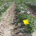 Yellow nutsedge garden rose nursery plot treated with 1,3-dichloropropene, tarped with HDPE film. 2005-07 trial near Wasco, CA. Photo by Brad Hanson.