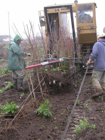 An undercutting tree digger lifting almond nursery stock and dislodging soil from the roots. Photo by Brad Hanson.