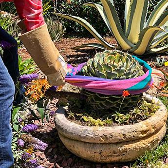 "A gardener wearing long rose gauntlet gloves demonstrates how to use rolled up newspaper to safely transport this 6"" spiny Agave."
