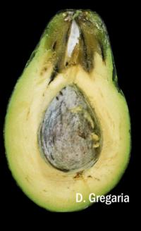 avocado_dothiorella_stem