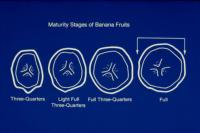 banana_maturity_stages