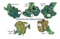 broccoli_color_rating