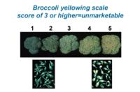 broccoli_yellowing_scale