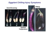 eggplant_chilling_injury_symptoms
